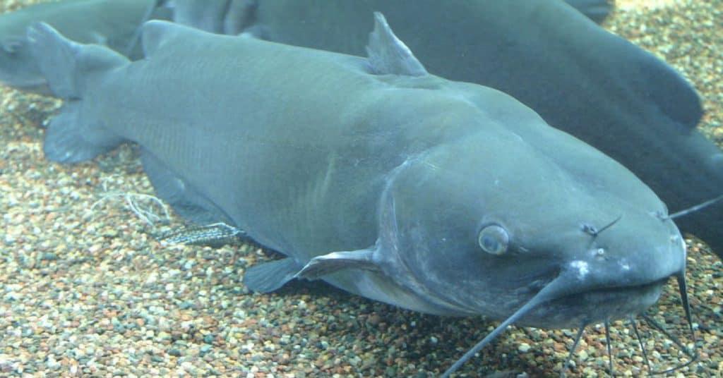 Catfish Fishing 101: Top Tips For Catching Catfish