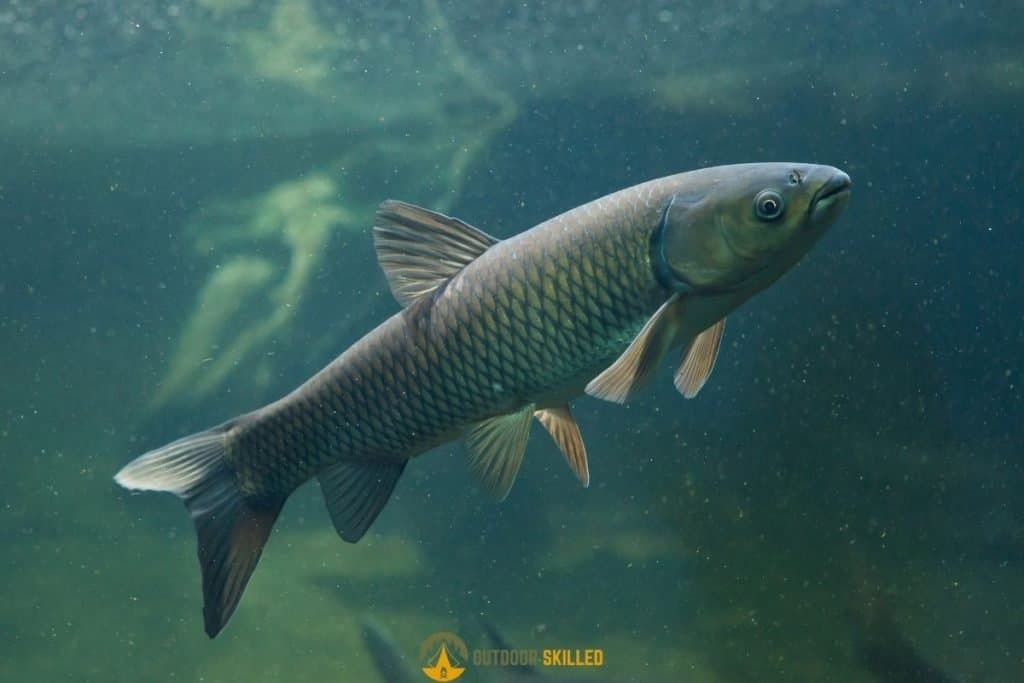 carp swimming to answer can carp see the fishing line