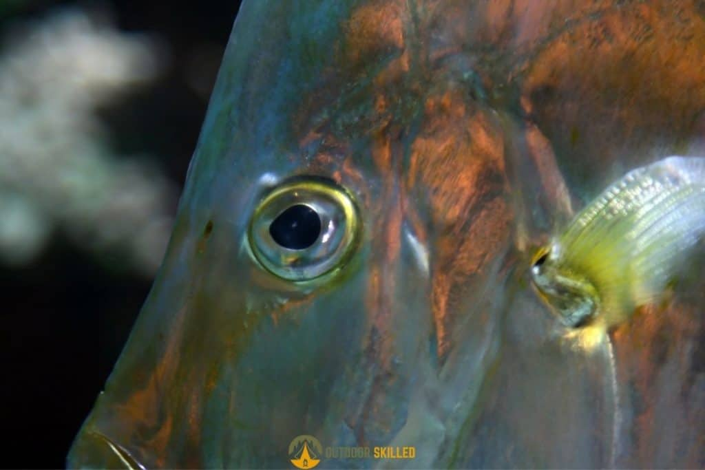 a close up of fish eyes to show why do braided lines spook fish