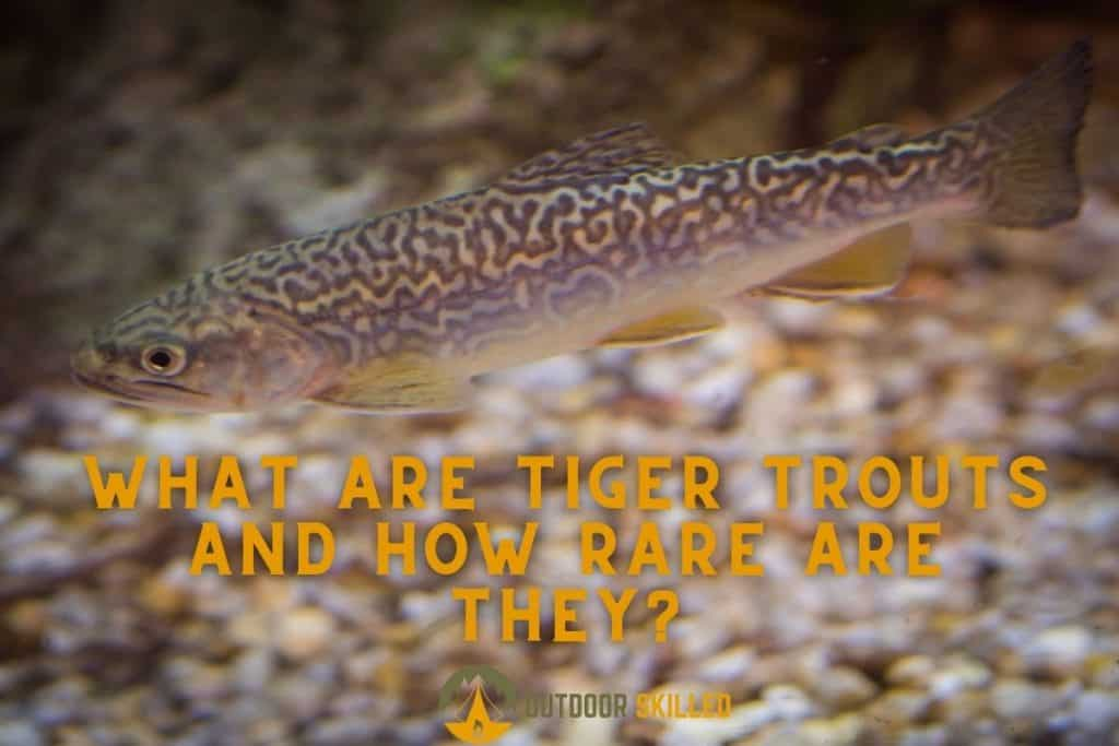 Tiger trout swimming to show how rare is a tiger trout