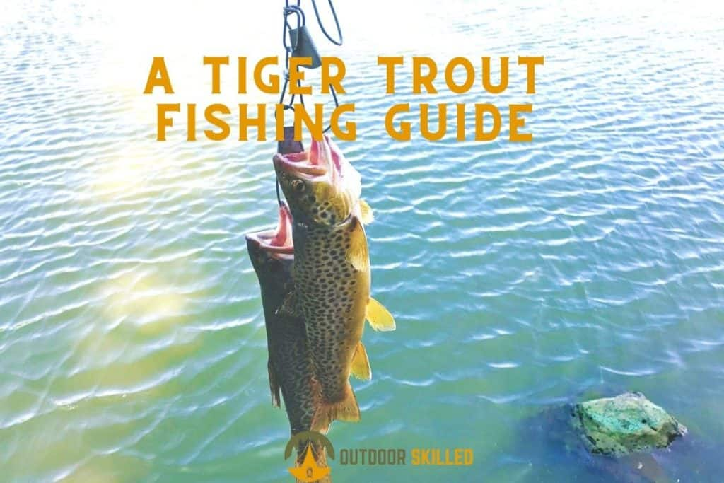 Tiger trouts to illustrate how to catch tiger trout from shore