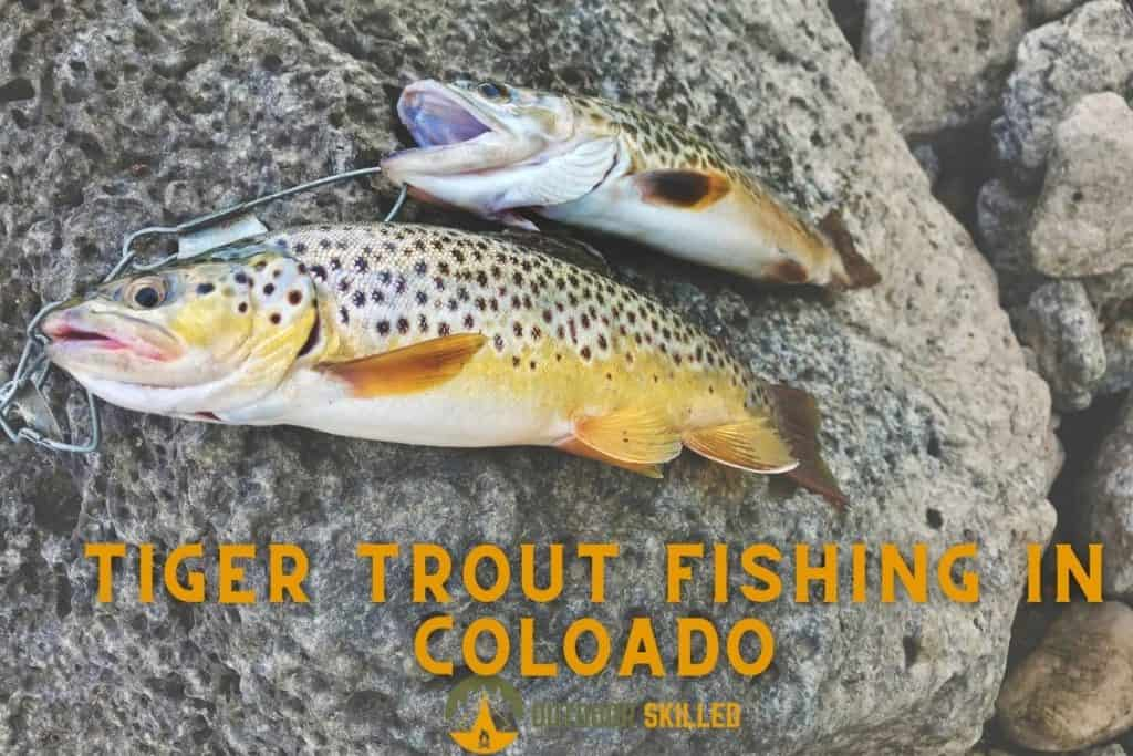 Brown and Tiger trouts to answer where to catch tiger trout in Colorado