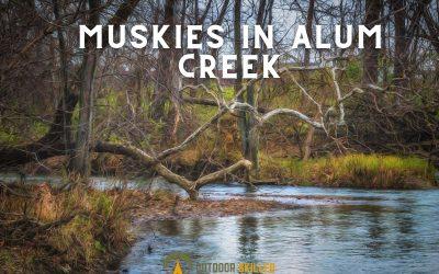 Muskies-in-Alum-Creek-featured