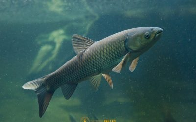 can-carp-see-fishing-line-featured-image