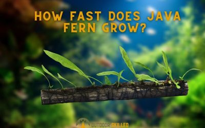 how-fast-does-java-fern-grow-featured-image