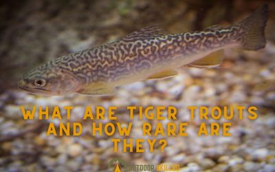 how-rare-is-a-tiger-trout-featured-image