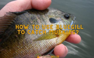 how-to-use-live-bluegill-to-catch-muskies