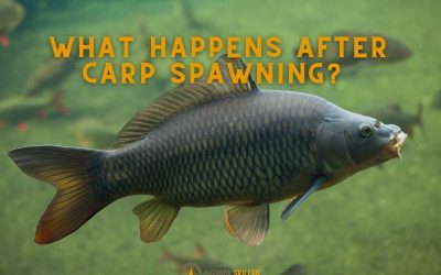why-do-carp-die-after-spawning-featured